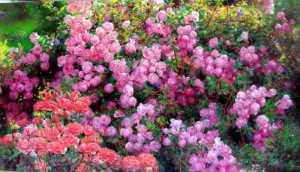rose-garden-9-bo-li